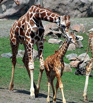 Giraffen Klexikon Das Freie Kinderlexikon