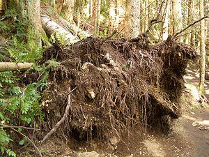 Oak Tree Stump Kitchen Table