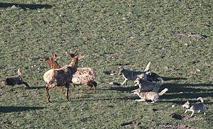 Irish Elk Natural Selection Not Perfect