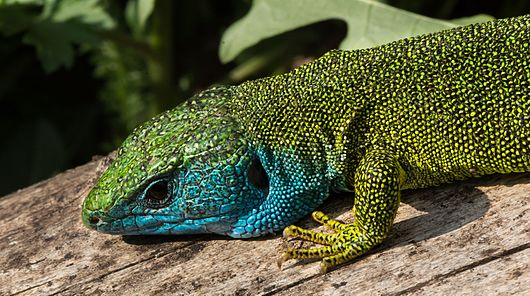 Datei:Lacerta viridis - male 04.JPG