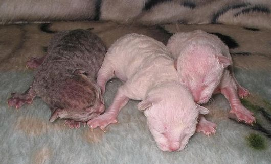 Datei:Cornish rex kittens een dag oud.JPG