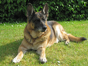 German Shepherd Dog Training Video