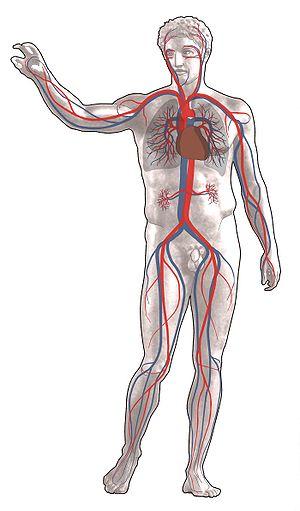 Blutkreislauf – Klexikon - Das Freie Kinderlexikon