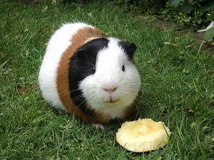 Guinea Pig Eating Dog Food