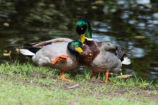 Datei:Couple of two male mallard ducks - homosexual Anas platyrhynchos - Moenchbruch - Mönchbruch - May 3rd 2013 - 03.jpg