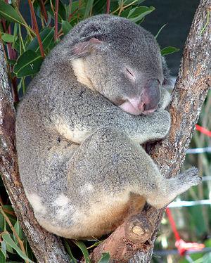 koala klexikon das freie kinderlexikon. Black Bedroom Furniture Sets. Home Design Ideas