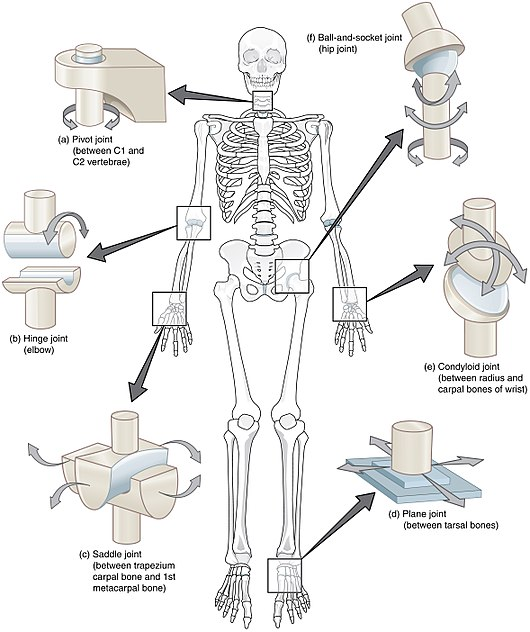 Datei:909 Types of Synovial Joints.jpg